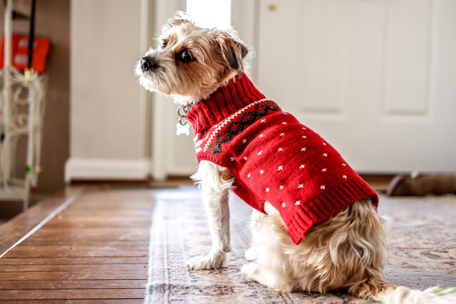Pies w czerwonym sweterku czeka na spacer